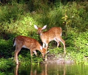As a Deer